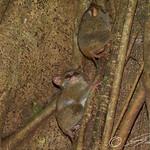 Spectral tarsiers